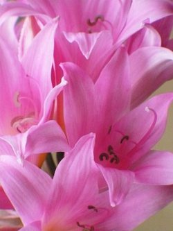 Pink_bulbs_internet