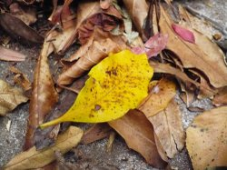 Fall_yellow_leaf