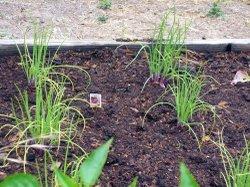 Garden_onions