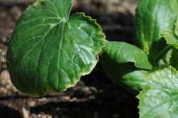 Squash_leaf_edges