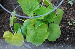 May10squashyellowleaves_int